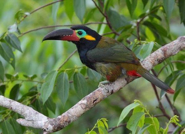 oiseau exotique guyanais