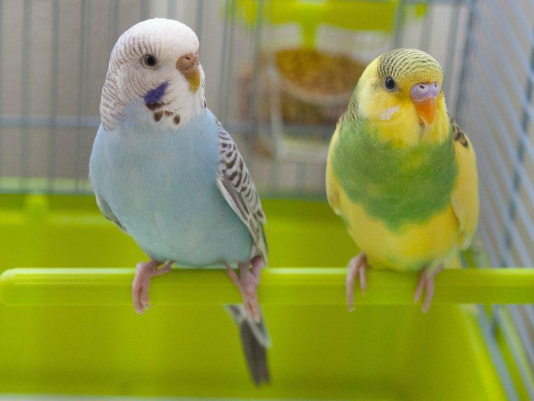 perruche colorée