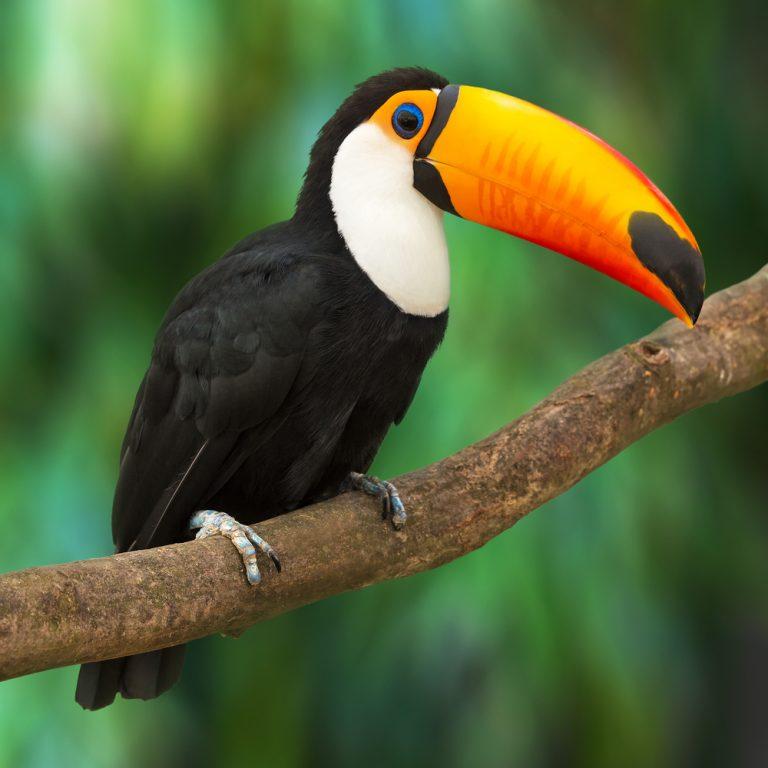 oiseau toucan exotique