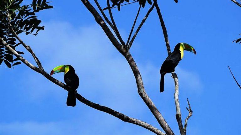 deux toucans