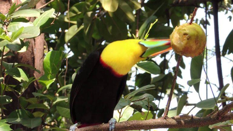 toucan manger