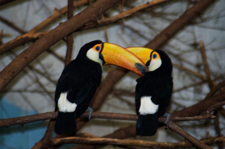 oiseau toucan dans la nature volant