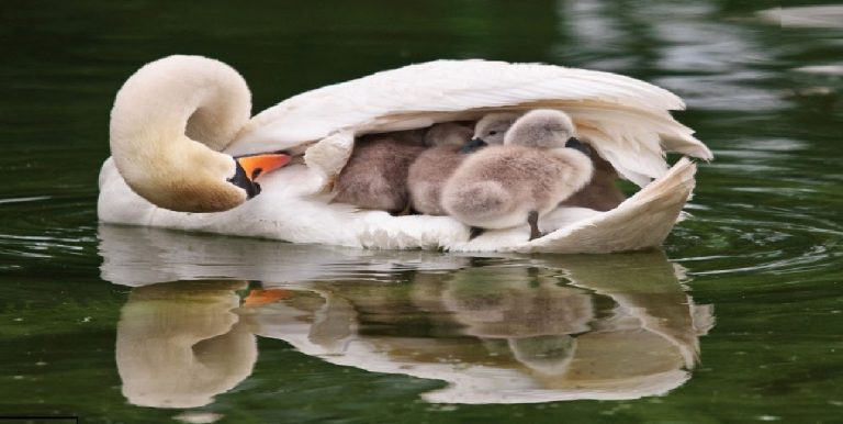 cygne de reproduction