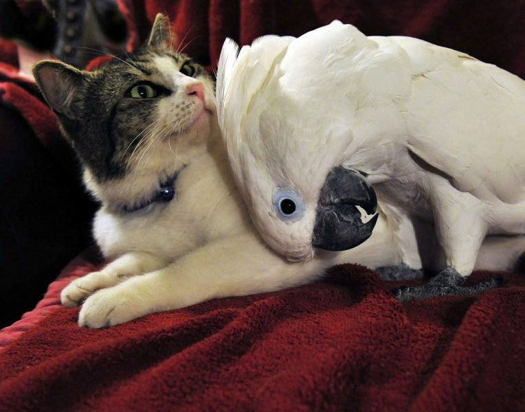 cacatoès avec un chat