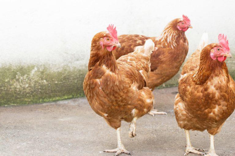 la vie des poulets
