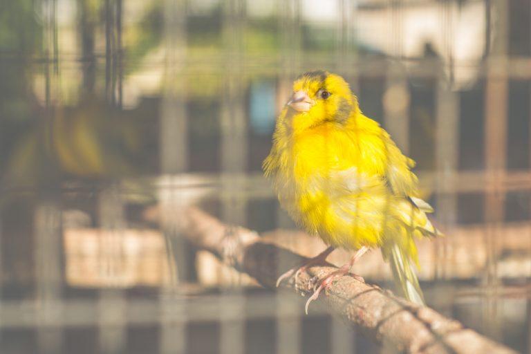 oiseau canari dans une cage