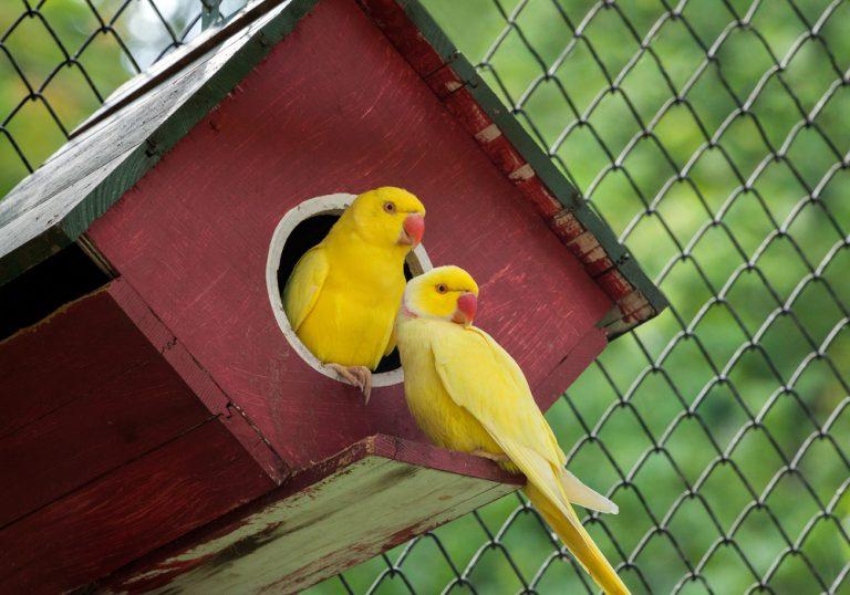 canaris oiseaux dans la nature
