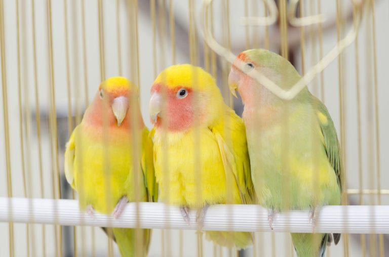 canaris en cage