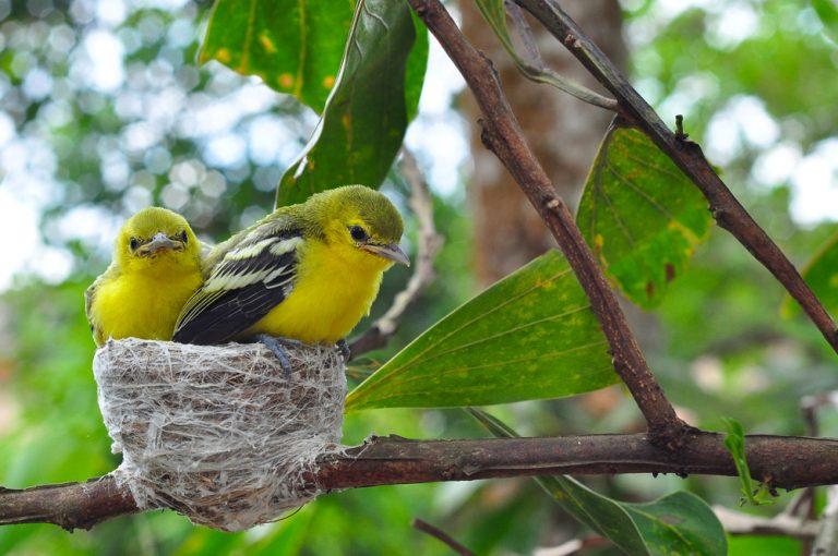cage d'oiseau canari