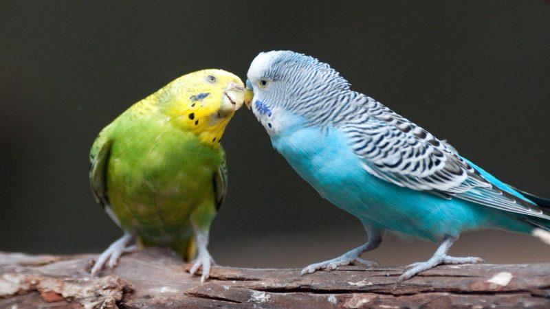 perekeets s'embrasser