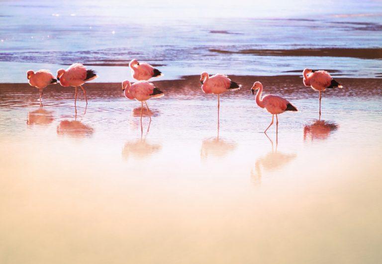 flamants roses oiseaux