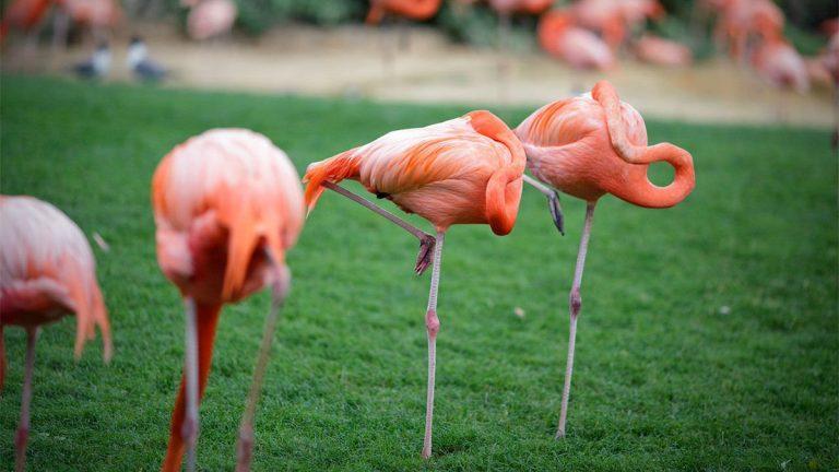 flamants roses oiseau dans la nature