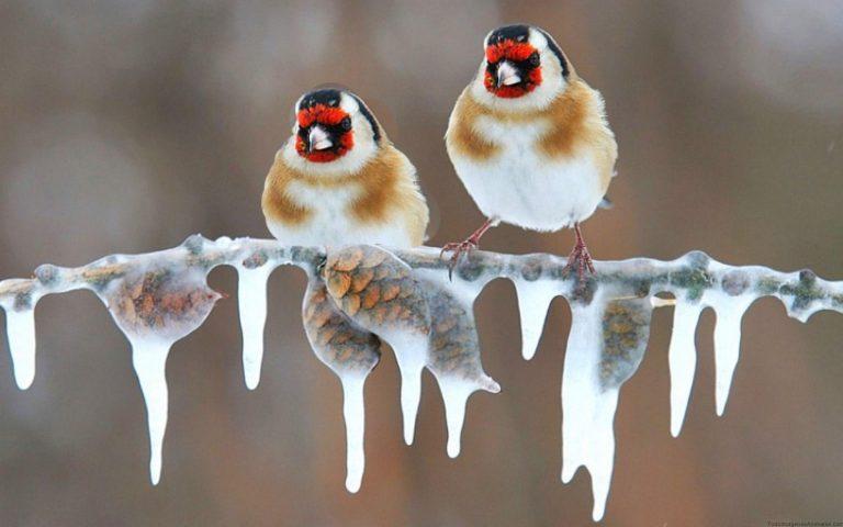 chardonneret dans la glace