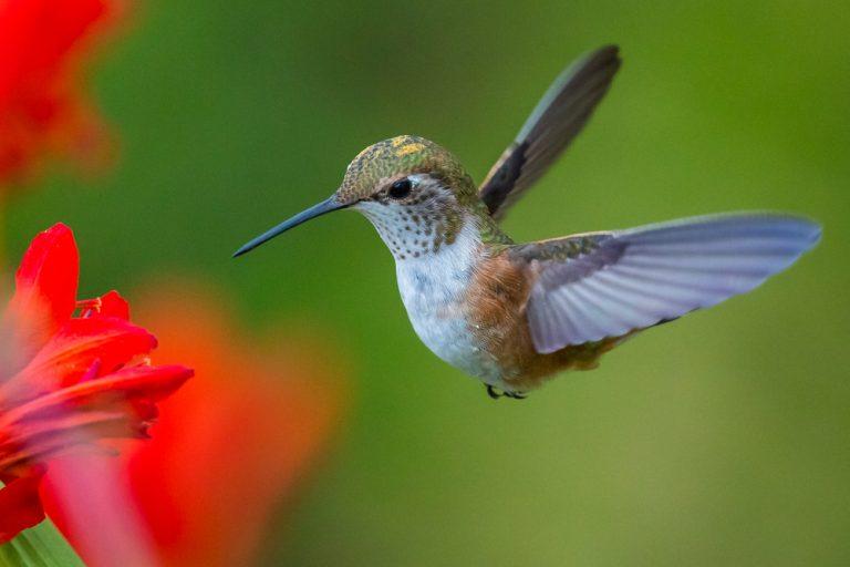 colibri mâle ou famele
