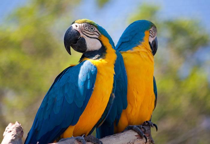 deux aras bleus et jaunes