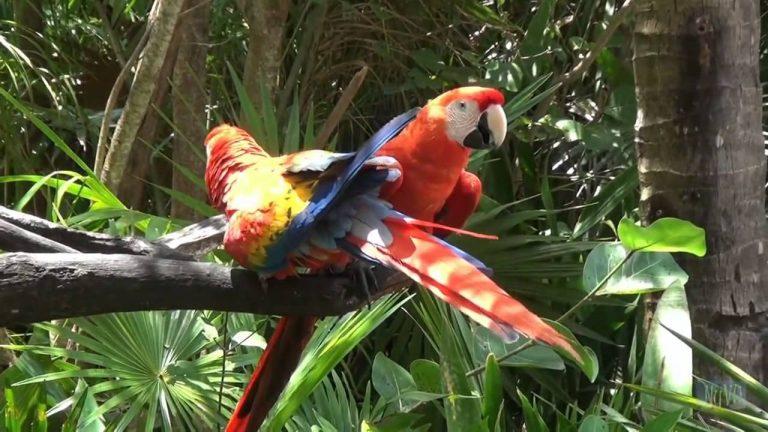 deux oiseaux rouges exotiques