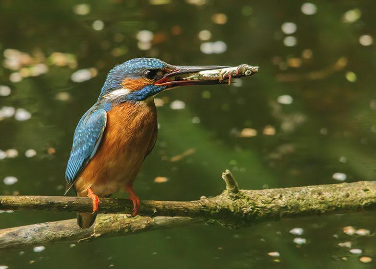 martin pêcheur manger