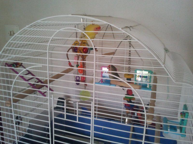 inséparable dans la cage
