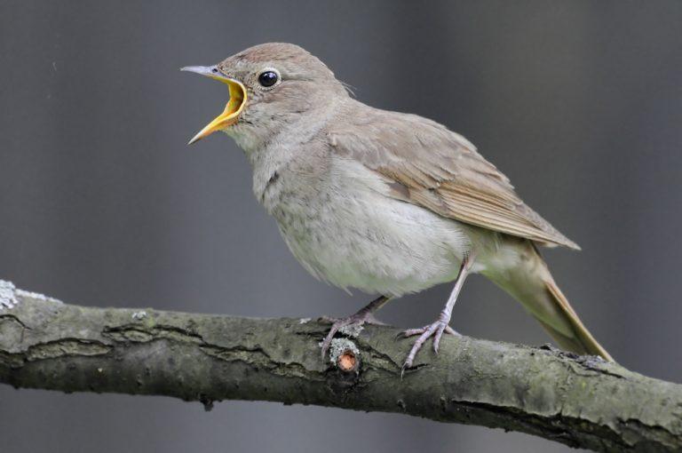 oiseau rossignol
