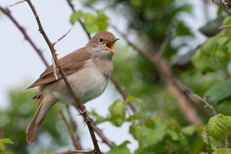 oiseau moqueur famele