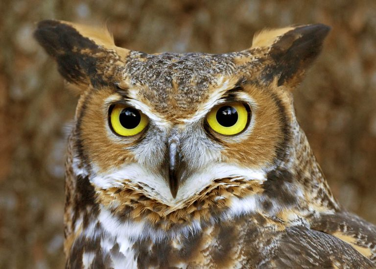 hibou naturel