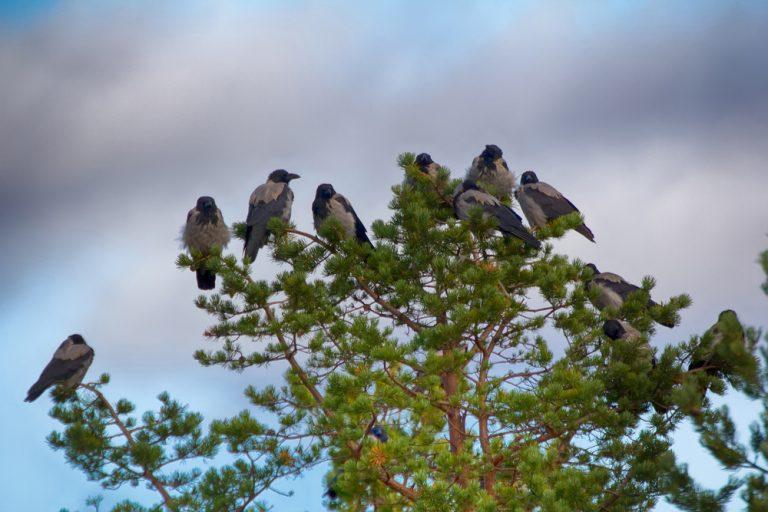 corbeau dans une nature