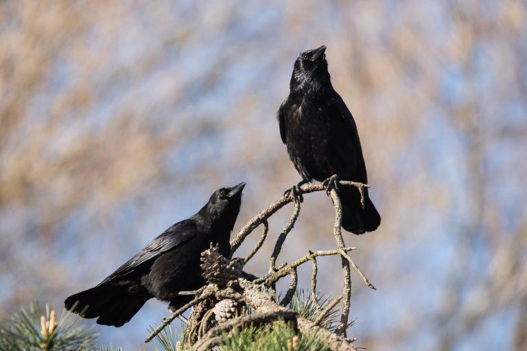 cage de corbeau