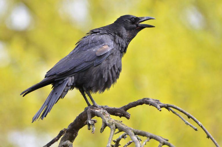 oeufs de corbeau