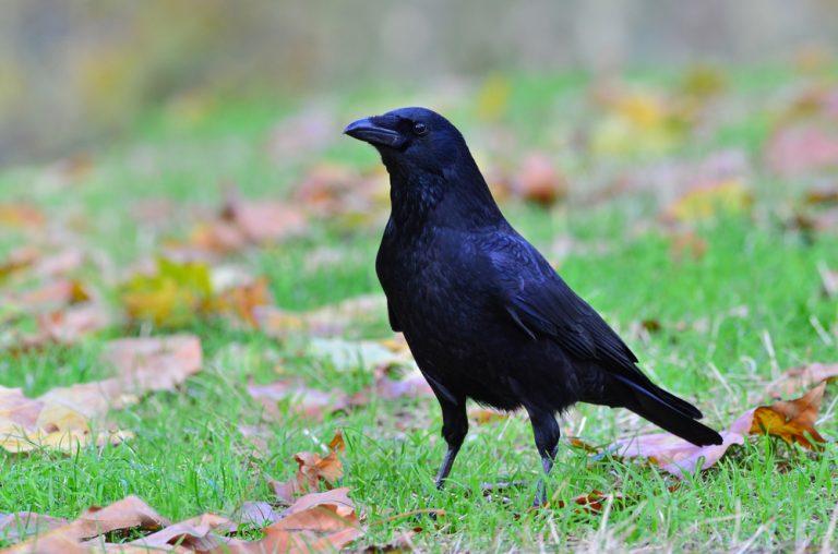 culture corbeau