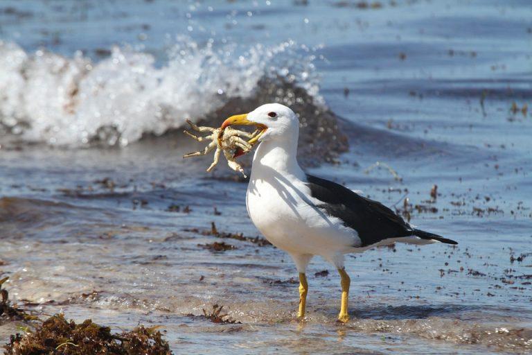 albatros manger