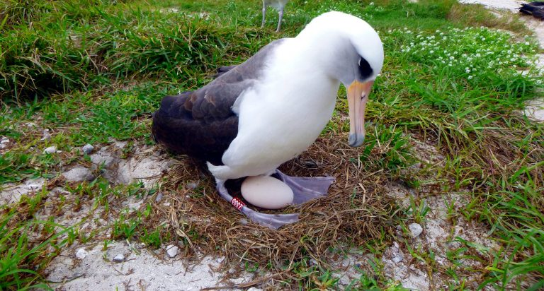 oeuf d'albatros