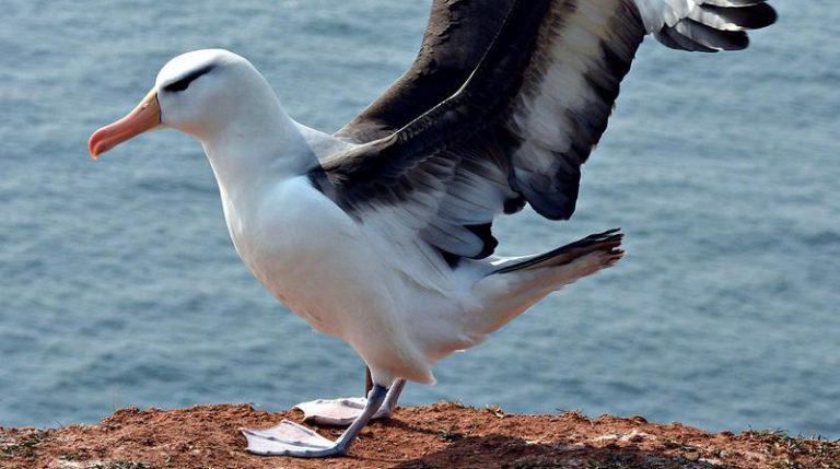 albatros vivant