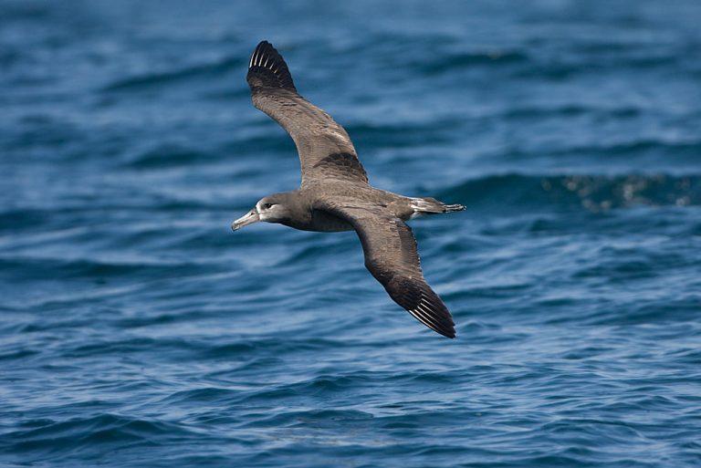 albatros à pattes noires