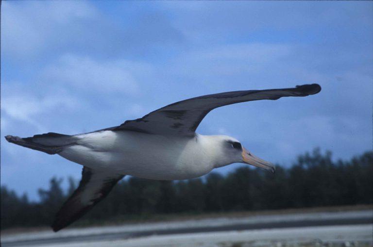 oiseau exotique albatros
