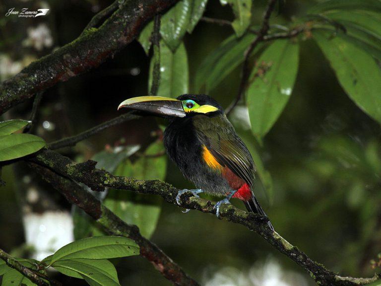oiseau exotique à oreilles jaunes