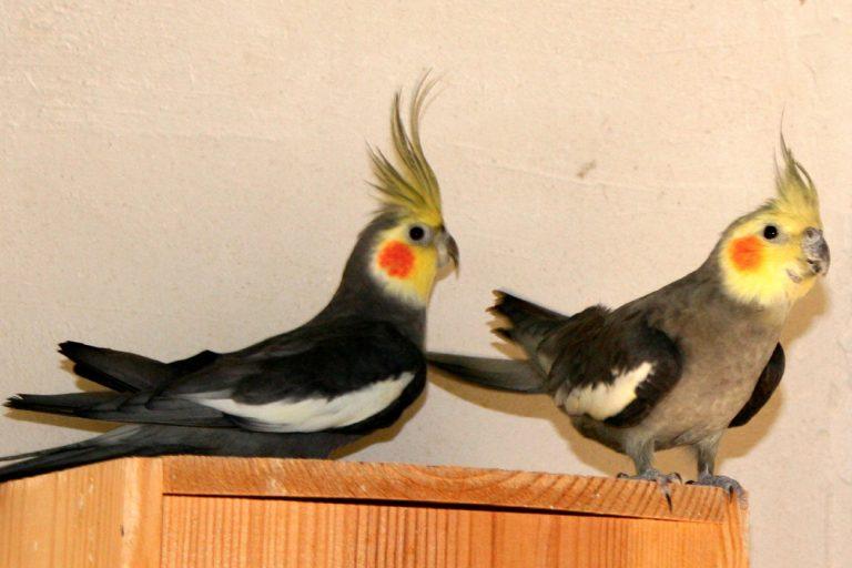 calopsitte oiseau exotique