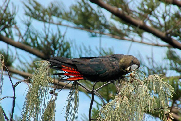 oiseau exotique rouge et noir