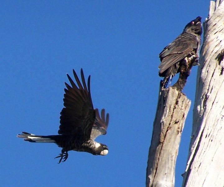 cacatoès carnaby volant