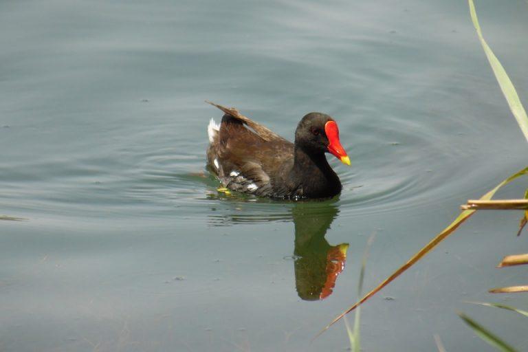 watercock