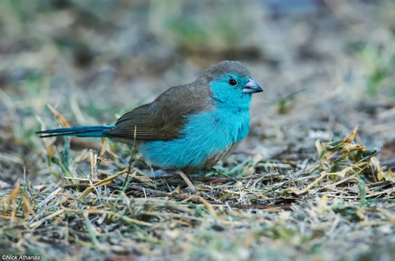 oiseau bleu exotique