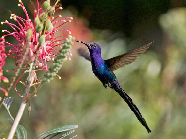 avaler le colibri