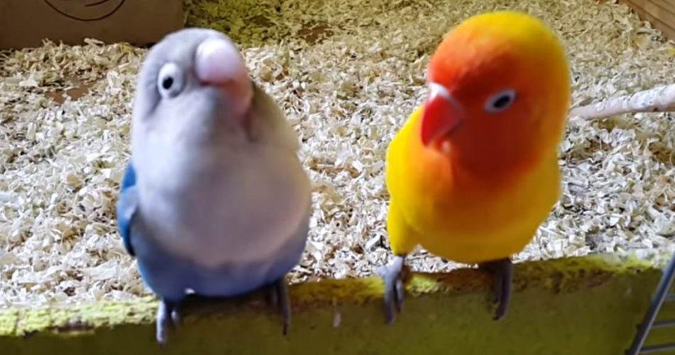 deux types d'agapornis