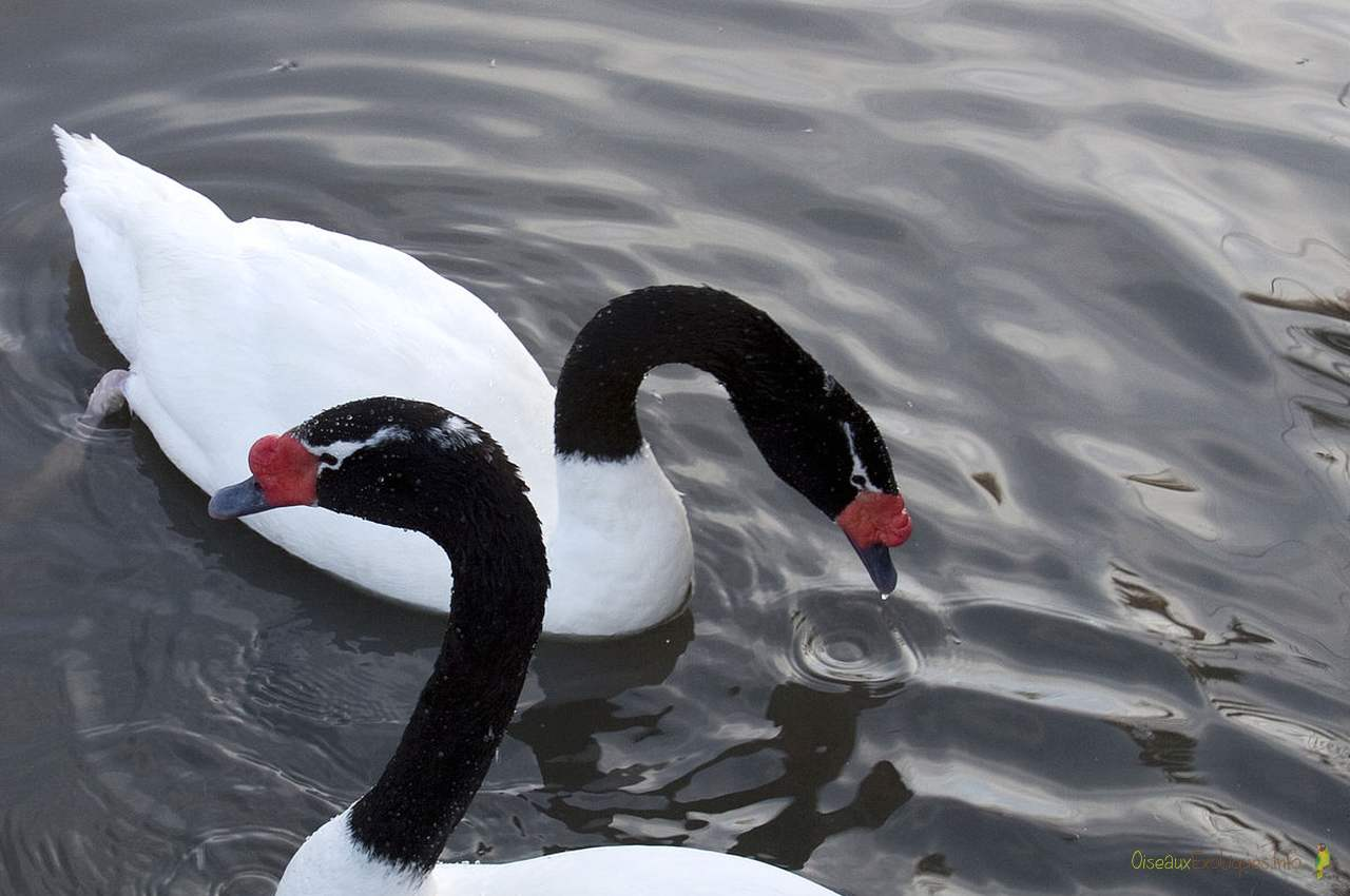 Black-necked_Swan belle oiseaux