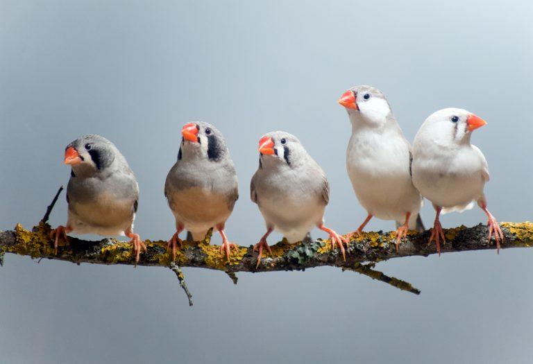 oiseaux pinsons