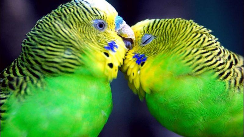 perruches s'embrasser