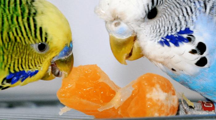 perkeets manger perruche mangeuse de mandarines