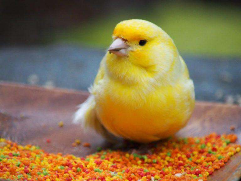 canaris oiseaux