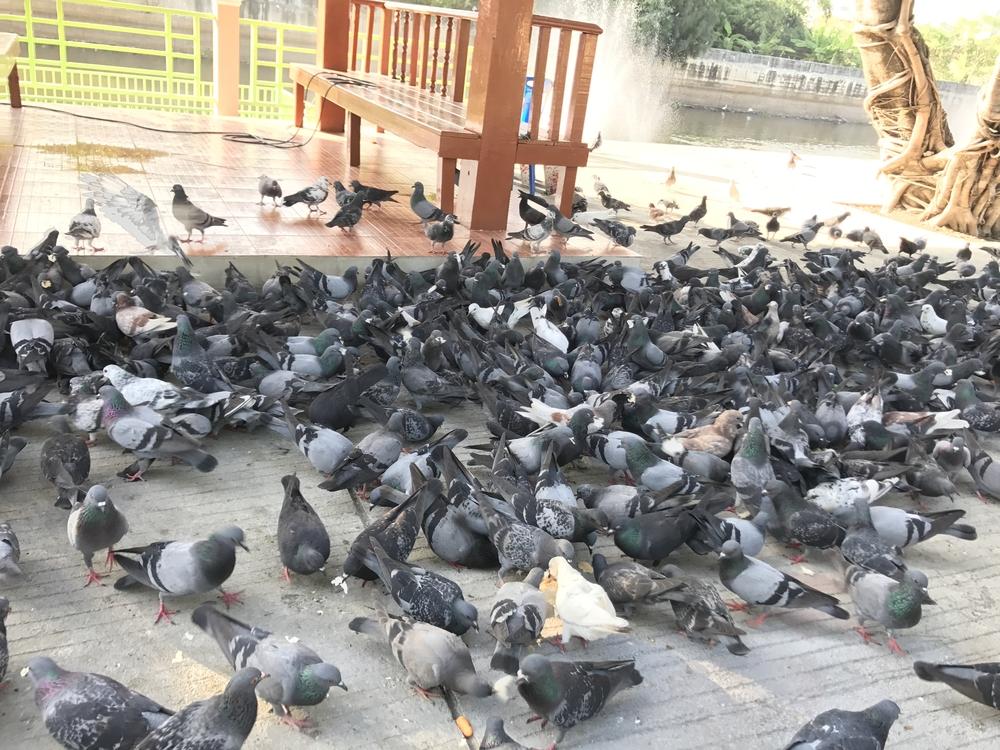 pigeon oiseau exotique