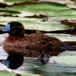 Nomonyx dominicus - Masked Duck