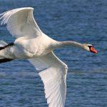 Mute Swan_oiseau